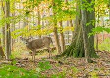 白尾鹿大型装配架 库存照片