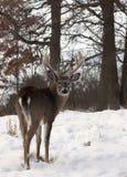 白尾鹿大型装配架 免版税库存照片