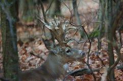 白尾鹿大型装配架 库存图片