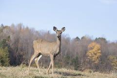 白尾鹿女性 免版税图库摄影