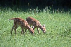 白尾鹿孪生小鹿 免版税库存照片