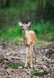 白尾鹿小鹿在森林 免版税库存照片