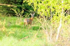 白尾鹿小鹿 库存图片