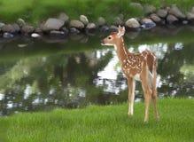 白尾鹿小鹿 图库摄影