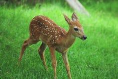 白尾鹿小鹿Obsevation 库存图片