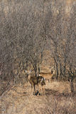 白尾鹿树枝细节 免版税库存照片