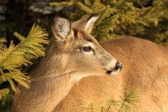 白尾鹿母鹿冬天摆在 图库摄影