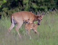 白尾鹿母鹿和小鹿 库存照片