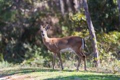 白尾鹿母鹿女性鹿 库存照片
