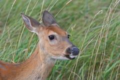 白尾鹿母鹿特写镜头配置文件  免版税图库摄影