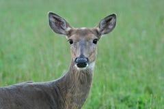 白尾鹿母鹿特写镜头  免版税库存照片