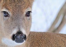 白尾鹿母鹿 免版税库存照片