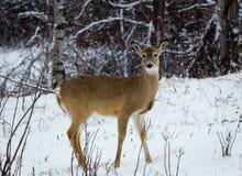 白尾鹿母鹿 库存图片