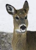 白尾鹿母鹿 图库摄影