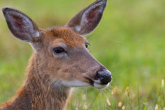 白尾鹿母鹿 免版税库存图片