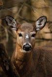白尾鹿纵向 免版税库存图片
