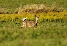 白尾鹿警报尾巴 库存图片