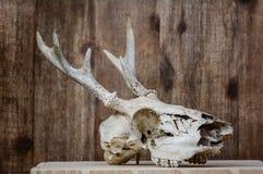 白尾鹿鹿角的头骨 免版税图库摄影