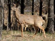 白尾鹿 免版税库存照片