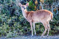 白尾鹿bambi 免版税库存照片