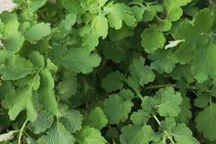 白屈莱属绿色灌木  库存照片