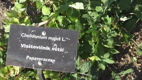 白屈莱属majus是一草本开花 药用植物 香料和草本 股票视频