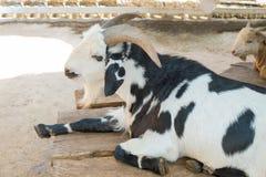 黑白山羊 免版税库存图片