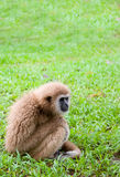 白手长臂猿坐草 免版税图库摄影