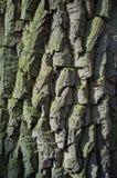 白扬树吠声或Rhytidome纹理细节 免版税库存图片