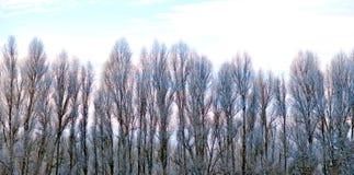 白扬树在冬天 免版税图库摄影