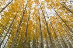 白扬树在秋天的树丛机盖 免版税库存图片
