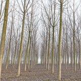 白扬树森林在冬天。 一点红,意大利 免版税库存图片