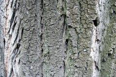 白扬树的吠声 库存照片