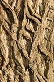 白扬树的吠声 免版税库存图片