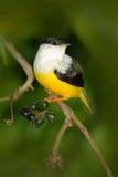白抓住衣领口的Manakin, Manacus candei,罕见的bizar鸟, Nelize,中美洲 森林鸟,从自然的野生生物场面 白色a 库存照片