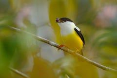 白抓住衣领口的Manakin, Manacus candei,罕见的bizar鸟, Nelize,中美洲 森林鸟,从自然的野生生物场面 白色a 库存图片