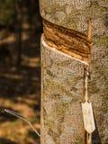 白拉胶乳汁从橡胶树或三叶胶brasiliensis的 免版税库存图片