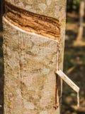 白拉胶乳汁从橡胶树或三叶胶brasiliensis的 免版税库存照片
