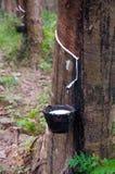 白拉胶泰国结构树 免版税图库摄影