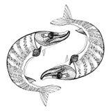 白斑狗鱼 图库摄影