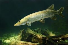 白斑狗鱼(Esox Lucius)。 库存图片