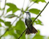 白有胸腔的鲜绿色蜂鸟 免版税图库摄影