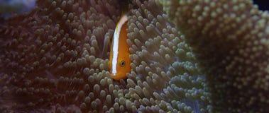 白有鬃毛的anemonefish或桃红色anemonefish,双锯鱼perideraion 股票视频