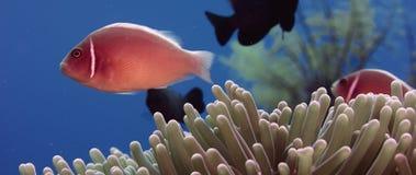 白有鬃毛的anemonefish掩藏ia银莲花属 股票视频