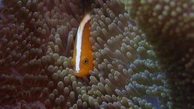 白有鬃毛的anemonefish掩藏ia银莲花属 影视素材