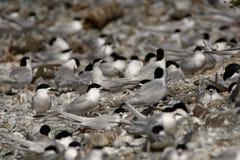 白朝向的燕鸥-胸骨striata -住在新西兰,飞行,狩猎的塔拉,联接 免版税库存照片