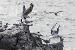 白朝向的燕鸥(胸骨striata) 免版税库存照片