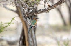 白朝向的食蜂鸟,塞卢斯禁猎区,坦桑尼亚 图库摄影