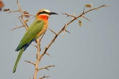 白朝向的食蜂鸟, (食蜂鸟属bullockoides) 免版税库存图片