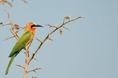 白朝向的食蜂鸟, (食蜂鸟属bullockoides) 库存图片